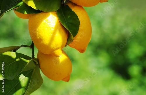 Ripe Lemons hanging on a lemon tree, green background