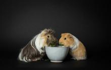 2 Guinea Pigs Eating Salad Tog...