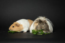 Guinea Pigs Eating Greens