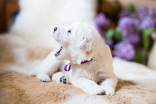 Close-up Of One Week Old Maremma Puppy Lying On The Cow's Fur. Profile Portrait Of Cute White Puppy With Purple Ribbon Saying His First Woof To New World On A Lilac Flowers Background