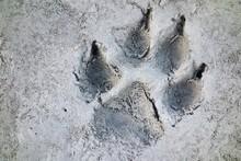 Wolf Track Wilderness Prints I...