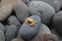 A Small Crab Sits On A Pebble