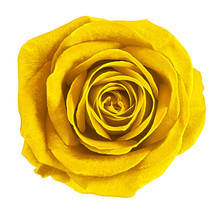 Flower Yellow Rose  Isolated On White Background. Close-up.  Element Of Design.