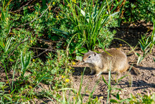 Uinta Ground Squirrel