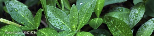 Poster Vegetal Banner of green bush after rain