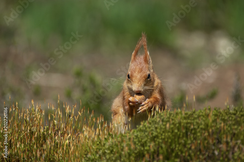 Foto auf Gartenposter Eichhornchen red squirrel nibbles a nut and sits peacefully in the grass