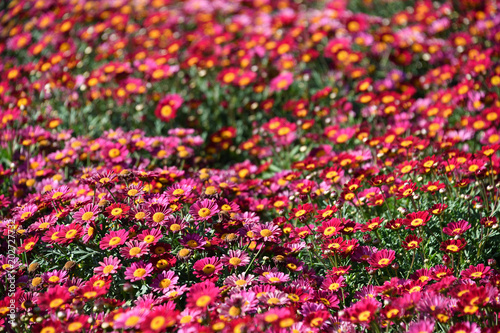 Spoed Foto op Canvas Roze daisy Farmed colorful outdoor flowers field
