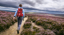 A Hiker Walking Along A Dirt Path, Trail On Open Moorland With Purple Flowering Heather At Edmundbyres, Country Durham, England. UK.