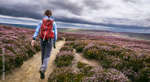 Fototapeta A hiker walking along a dirt path, trail on open moorland with purple flowering heather at Edmundbyres, Country Durham, England. UK. obraz
