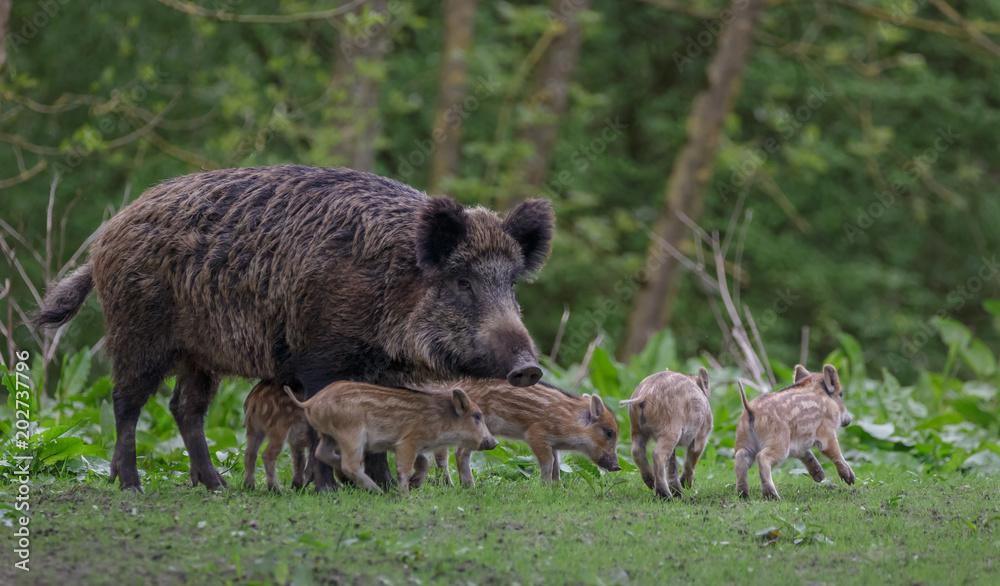 Fototapeta Young wild Boar