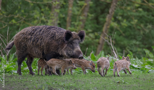 Photo  Young wild Boar