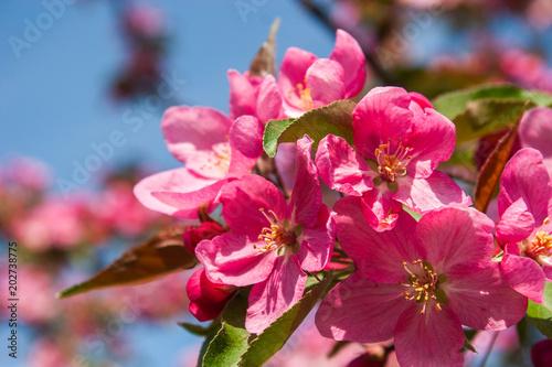 Papiers peints Azalea Pink blossoming apple tree.Malus.