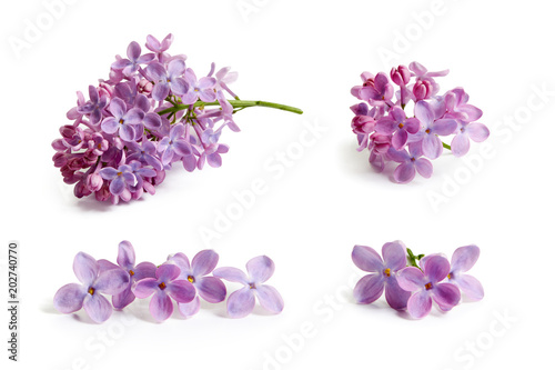 Poster de jardin Lilac Purple lilac flower on white background