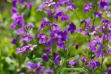 Orychophragmus Violaceus (dame's Violet)