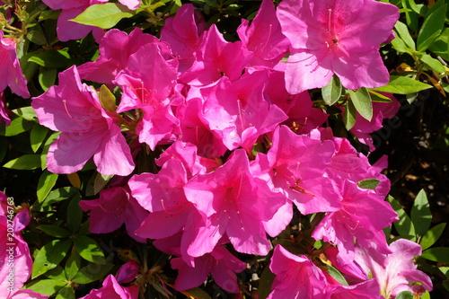 Staande foto Azalea ツツジの花