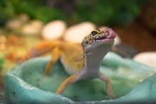 Yellow Common Leopard Gecko St...