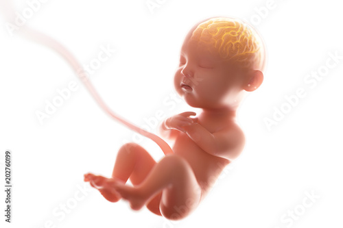 Babys brain and nervous system,3d rendering fetus with brain x-ray inside, 3d illustration Fototapet