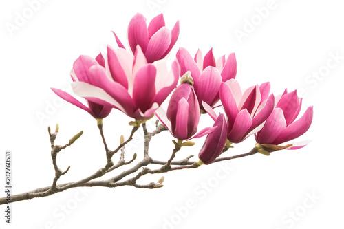 Foto op Plexiglas Magnolia magnolia flower spring branch isolated on white background