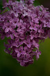 Closeup of violet colored lilac blooms