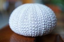 White Sea Urchin Close Up.