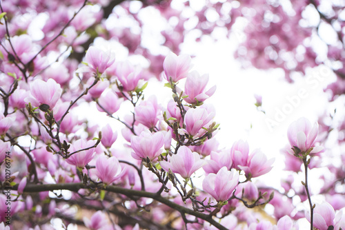 Tuinposter Magnolia Image of spring beautiful plant