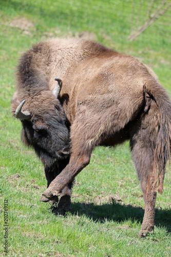 Foto op Canvas Bison European Bison