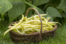 Fresh Yellow Beans Picked And ...