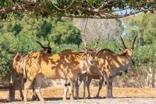 Group Of Eland Antelopes