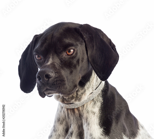Poster Chien Black and white hunting dog with necklace with rhinestones