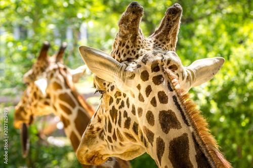 Photo  Giraffe twins
