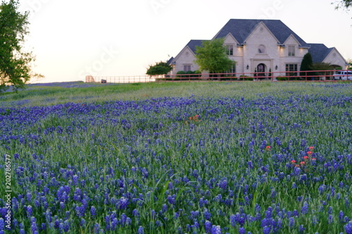 Poster Texas Large countryside home during spring time with Bluebonnet wildflowers blooming near the Texas Hill Country