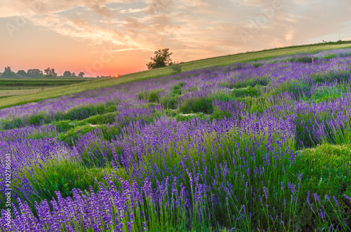 In de dag Snoeien Blooming lavender fields in Poland, beautfiul sunrise