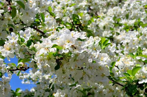 Biene sammelt pollen an Zierapfel Evereste Baum mit Blüten