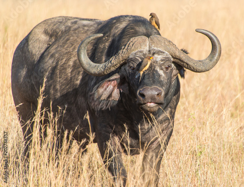 Staande foto Buffel Cape buffalo, one of the most dangerous African animals.