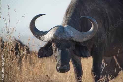 Foto op Aluminium Buffel Cape buffalo, one of the most dangerous African animals.