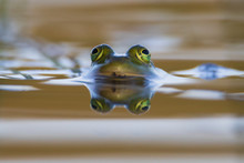 The Reflection Of A Frog