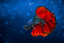 Fighting Fish Red Blue Light B...