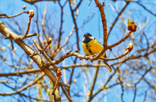 Funny Tomtit Yellow Bird On Chestnut Tree Twig In Spring In Moscow