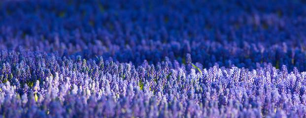 Fototapeta field of blue flowers