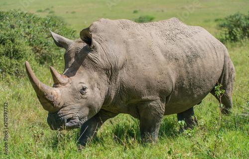 Staande foto Neushoorn White Rhino