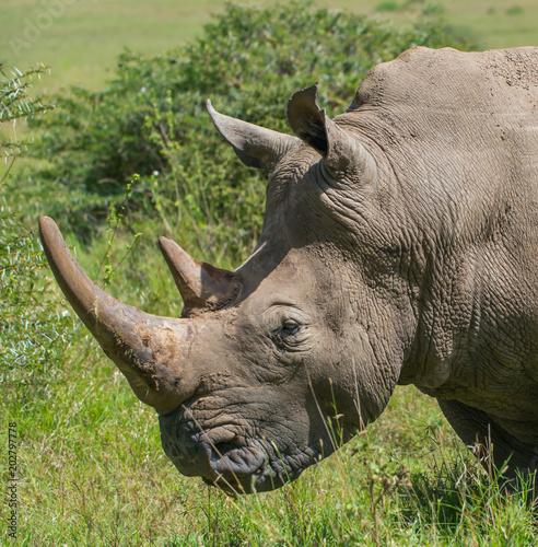 In de dag Neushoorn White Rhino