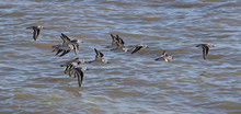 A Flock Of Sanderlings (Calidris Alba) Flying Just Off Shore Of The West Cape Of Everglades National Park, Florida..