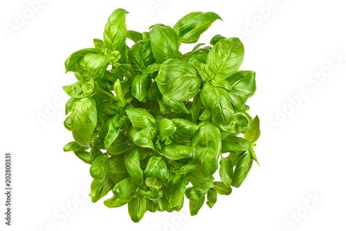 Obraz Close up studio shot of fresh green basil herb leaves isolated on white background. Sweet Genovese basil. - fototapety do salonu