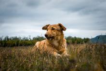 Blonde Dog Lying In Grass Next To Plastira Lake, Greece