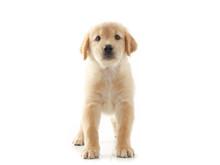 Puppy Dog Golden Retriever On ...