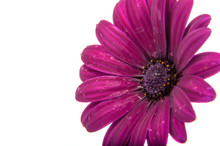 Beautiful Purple Osteospermum ...