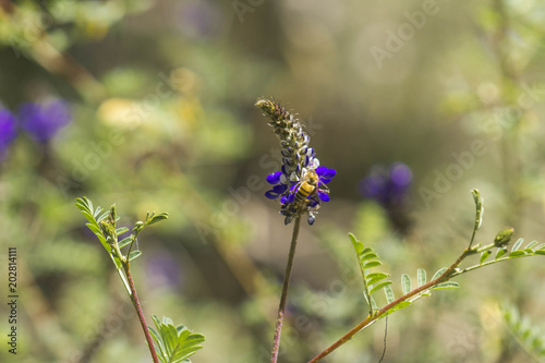 Aluminium Prints Butterfly yellow bee pollinating a lavender flower.
