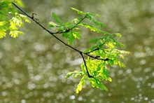 Twig With Fresh Light Green Leaves Of Oak Tree Hanging Above Water Surface On Spring Sunny Day, Bokeh, Blurry Background