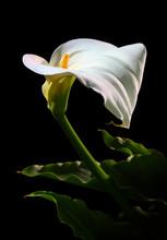 Calla Lily Flower, Trumpet Lil...
