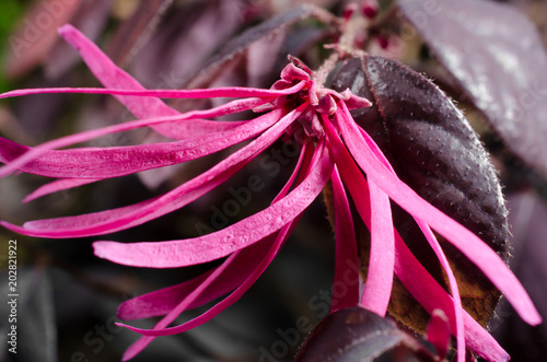 Blüte der Riemenblume (Bonsai loropetalum chinense)